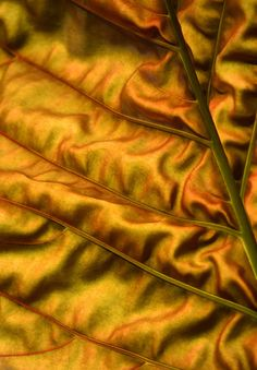 Backlit leaf. Cairns Botanic Gardens. Photo: David Clode.