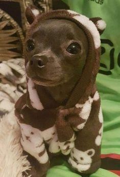 Cute Chihuahua, Chihuahua Puppies, Cute Baby Animals, Funny Animals, Dog Pictures, Cute Pictures, Rat Dog, Dog Eyes, Cute Creatures