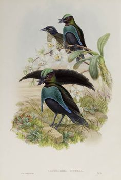 Superb Bird of Paradise | Gould, J.