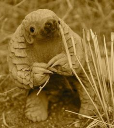 An 11 month old baby pangolin in Namibia. - An 11 month old baby pangolin in Namibia. Little is known about the shy, endangered species. Beautiful Creatures, Animals Beautiful, Animals And Pets, Funny Animals, 11 Month Old Baby, Unusual Animals, Strange Animals, Very Rare Animals, Exotic Animals