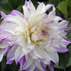 Dahlia Tubers | Dahlia 'Ferncliff Illusion' - pack of 3 tubers - Rose Cottage Plants