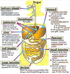 Three Main Functions Of The Digestive System Digestive System Label And Function Human Digestive System Diagram Digestive System Anatomy, Human Digestive System, Human Body Systems, Organs Of Human Body, Human Body Name, Digestive System Function, Human Body Parts, Human Body Anatomy, Human Anatomy And Physiology