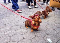 Les Bananas: Dachshund Festival NYC April 26, 2014 @ Washington Square Park