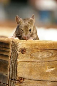 Dreams Gather Here [cute mouse] Hamsters, Rodents, Nature Animals, Baby Animals, Funny Animals, Cute Animals, Pet Mice, Pet Rats, Beautiful Creatures