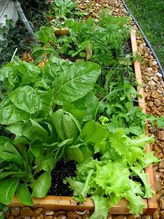 Lettuce, spinach, carrots and radishes in a square foot garden..