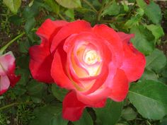 Google Image Result for http://rosesandgardens.com/gardening/wp-content/uploads/2009/10/Rose-006.jpg