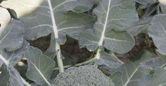 Brokkoli ist ein aromatisches und gesundes Kohlgemüse. Bei guter Bodenvorbereitung und  Wasserversorgung fahren auch Hobbygärtner gute Ernten ein.