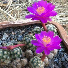 Mammillaria saboae var. haudeana