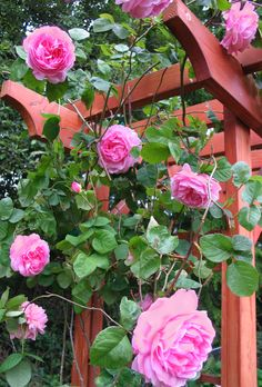 "Another favorite climbing old garden rose ""Contance Spry"".  Looks like a peony.  www.mypetalpress.blogspot.com"