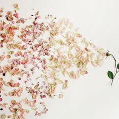Ombré. // #petals #flowers #botanicals #color | via @soilandstem by figandyarrow