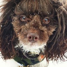 Furry faced poodle + snowflakes. #huxtablethepoodle (follow Huxtable on Instagram)