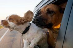 Por que os cachorros colocam as cabeças para fora do carro? - Grifes