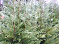 Wholesale Trees Evergreens Shade Trees and Shrubs For Landscaping In Nj Deer Resistant Landscaping, Shrubs For Landscaping, Shade Trees, Trees And Shrubs, Evergreen, Screens, Shades, Landscape, Canvases