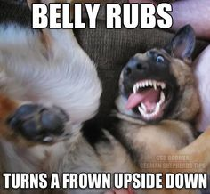Turn that frown upside down with a belly rub! #germanshepherd