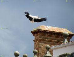 Ver y Conocer Extremadura - Foto - Cigüeña al aterrizaje (743996)