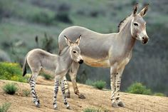 #DidYouKnow: Domestic donkeys are now found all over the world, yet only a few hundred of their wild ancestors survive. Populations of wild asses are decreasing as a result of hunting, competition with livestock for limited desert resources, and hybridization with the domestic donkey. Courtesy: American Wild Horses Preservation, AWHPC, Hillsborough, NC (USA).(&donkeys!!!).