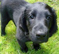 Black Goldador Designer Dogs Breeds Black Golden Retriever