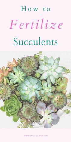 Learn how and when to fertilize your succulents for best results! Fertilizing can help speed growth and vibrancy and is a good part of succulent care. Growing Succulents, Planting Succulents, Planting Flowers, Potted Flowers, Succulent Gardening, Container Gardening, Succulent Care, Jade Plants, Pot Plants