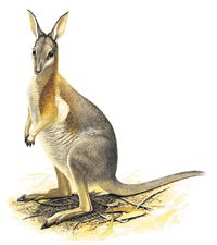 Crescent Nailtail Wallaby Extinct