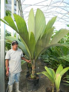 pelagodoxa - paddle leaf palm