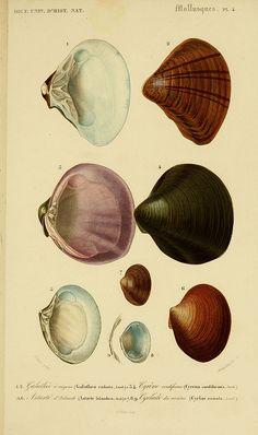 Calms  Dictionnaire universel d'histoire naturelle. v. 3 1849 - Atlas   (Zoologie-Botanique)  Paris