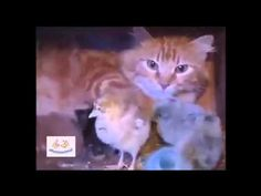 Mamá Gata Cuida de Pollitos - Afecto Animal. - YouTube