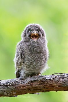 妈妈我在这里 Baby Animals, Cool Photos, Bird, Owls, Baby Pets, Birds, Owl, Tawny Owl, Animal Babies