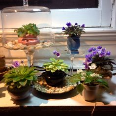 Miniature African Violets: Morgan's Drifter Rose, Rob's Twinkle Blue, Irish Angel, Jolly Orchid, Rob' Lucky Penny, Rob's Chilly Willy. #shelfie!