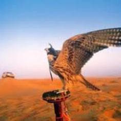 Falcon, Dubai
