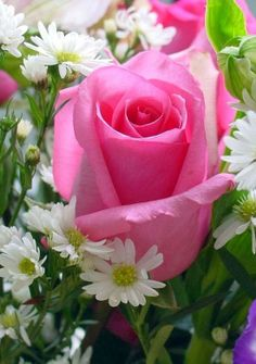 A Single Pink Rose with the daisies, /what a beautiful combination.  Will move some of my 'Becky' daisies next to my roses.
