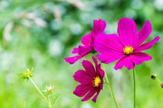 Cosmos.   Off-season flowering.