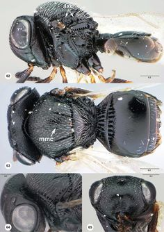 Trissolcus euschisti female