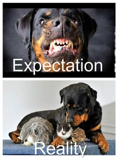 Image detail for -Neighbor& Rottweiler Big Dogs, I Love Dogs, Cute Dogs, Dogs And Puppies, Chihuahua Dogs, Doggies, Amor Animal, Mundo Animal, Animals And Pets