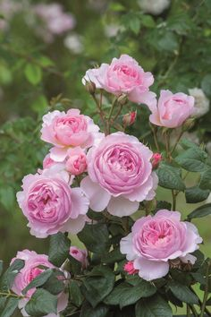 English Shrub Rose: Rosa 'The Ancient Mariner' (U.K., before 2015)