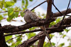 Foto fogo-apagou (Columbina squammata) por Evaldo Nascimento | Wiki Aves - A Enciclopédia das Aves do Brasil