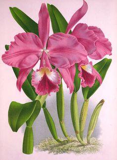 """Olímpia Reis Resque: Caprichosas orquídeas Alfredo Ladislau diz sobre as orquídeas: """"São plantas boas, que não sacrificam os recursos, já armazenados, da economia alheia, nem mandam raízes à terra, para abrir competência com os vizinhos""""... Ilustração e: Lindenia- iconographie des Orchidées. , v. 3, 1887. www.biodiversitylibrary.org. Leiam no Blog!"""