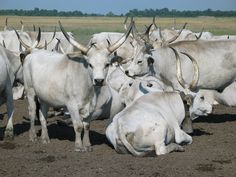 There are more than 800 cattle breeds from all over the world. There are hornless breeds and there are breeds with either short or long horns. The horns of other breeds are deliberately removed. Cattle breeds are raised primarily for their meat and milk w Agriculture, Longhorn Cattle, One Thousand, Beef Cattle, Parc National, Friesian, Parcs, Animals Of The World, Rind