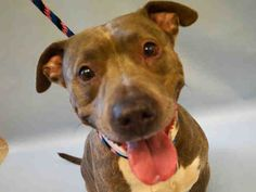 GONE 8-9-201 ---Manhattan Center ZENA – A1046736  SPAYED FEMALE, GR BRINDLE, AM PIT BULL TER MIX, 7 yrs OWNER SUR – EVALUATE, NO HOLD Reason NEW BABY Intake condition UNSPECIFIE Intake Date 08/05/2015