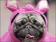 This is a Pug Puppy in a Pink Pig Costume.