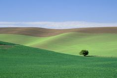 Lonely tree in Palouse wheat field
