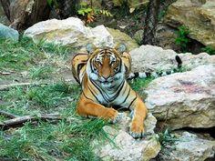 Malayan Tiger ❤💋 Cincinnati Zoo in Ohio Us Travel Destinations, Family Vacation Destinations, Places To Travel, Places To Visit, Family Vacations, Zoos In Ohio, Vacations In The Us, Cincinnati Zoo, Toddler Travel