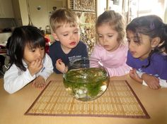 Our JK friends are investigating the 'life cycle of a frog'. The PreK welcome the exploration of tadpoles in their new habitat.