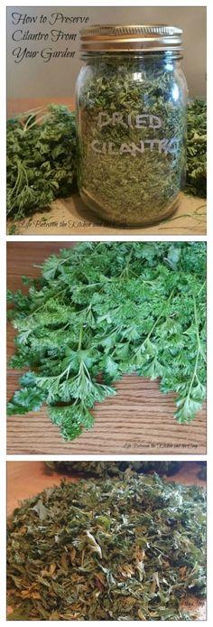 gardening, garden herbs, how to dry herbs, preserve cilantro, dry cilantro