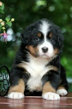 A very serious Bernese Mountain Dog puppy - I absolutely love this breed! Cute Puppies, Cute Dogs, Dogs And Puppies, Doggies, Animals And Pets, Baby Animals, Cute Animals, Bernice Mountain Dog, Puppy Pictures