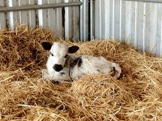 I wanna hug a cow! Farm Animals, Animals And Pets, Susie Qs, Sweet Cow, Future Farms, Baby Cows, Down On The Farm, Farm Life, Baby Pictures