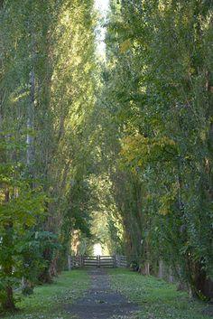 Poplar allee at Hokkaido University Campus