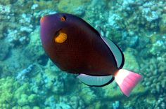 Pink Tail Triggerfish | Panoramio - Photo of Pinktail Triggerfish -Melichthys vidua