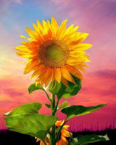 Kansas sunflower with a lovely western sunset.