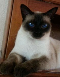 Traditional Siamese Cats | SIAMESE CATS AND KITTENS THE WAY THEY USED TO LOOK