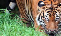 tiger_L